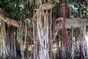 Священні дерева: фото та цікаві факти
