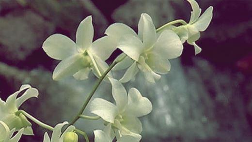 У нью-йоркському ботанічному саду зацвіли орхідеї