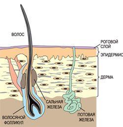Значення колагену і еластину для пружності шкіри